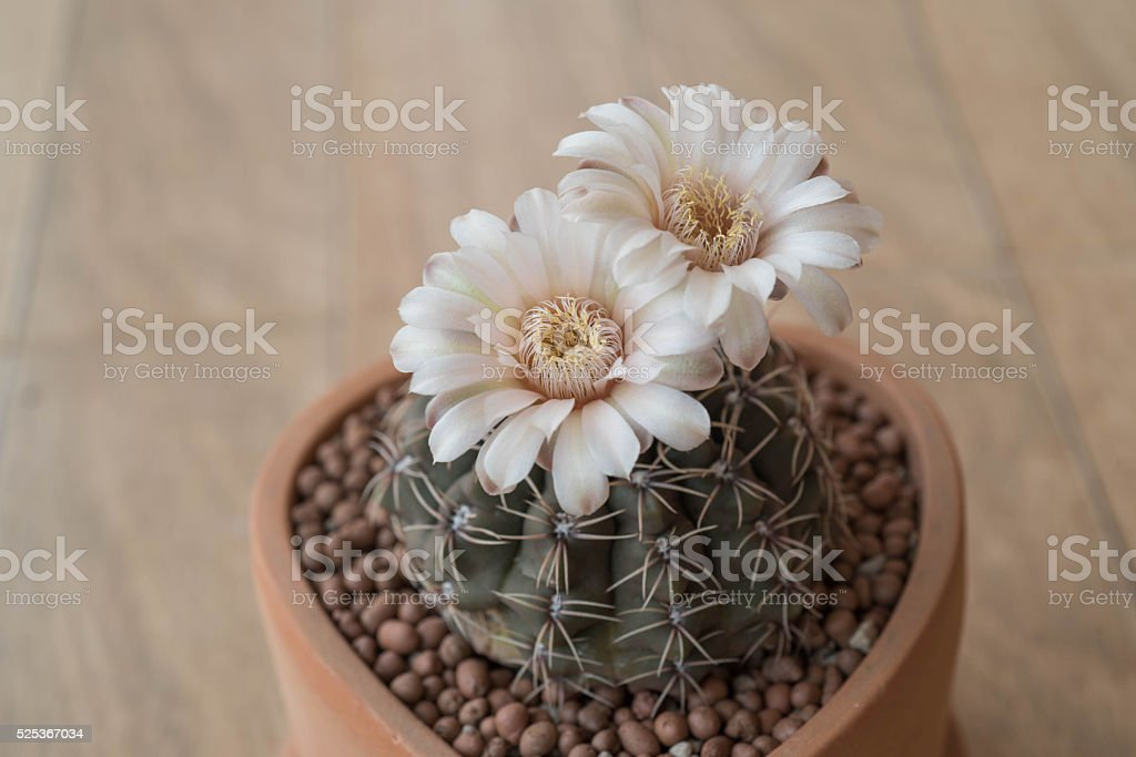 Gymnocalycium cactus flower in clay pot stock photo