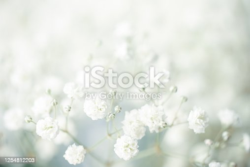istock gypsophila flower background 1254812203
