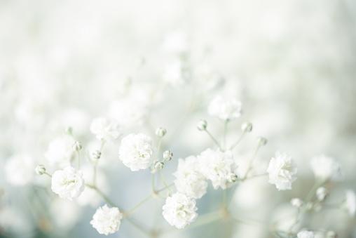 gypsophila flower background