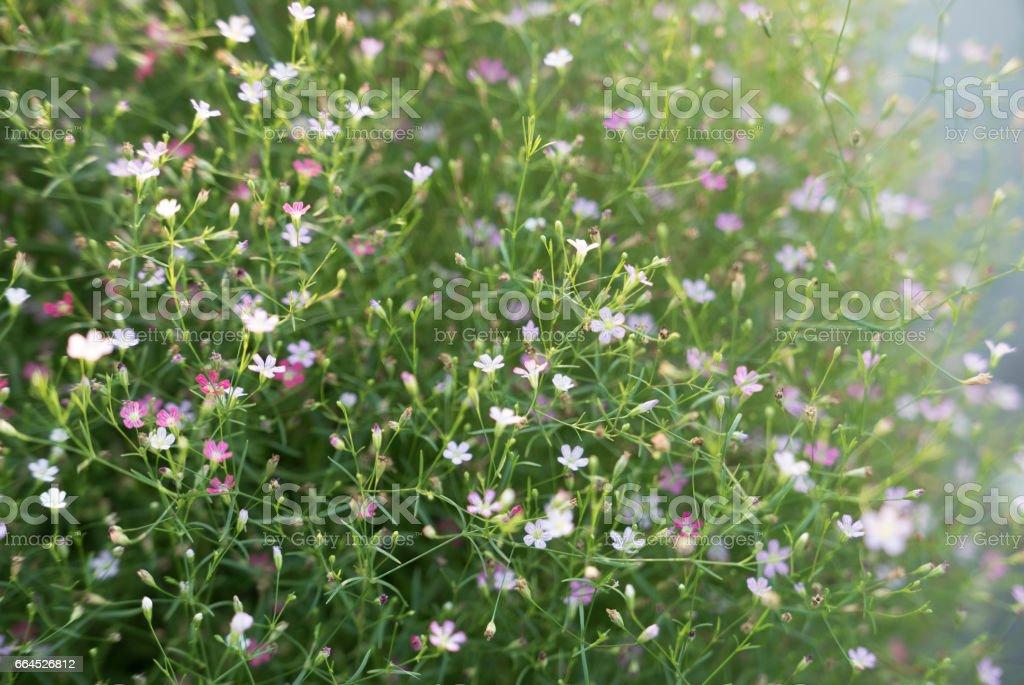Gypsophila flower royalty-free stock photo