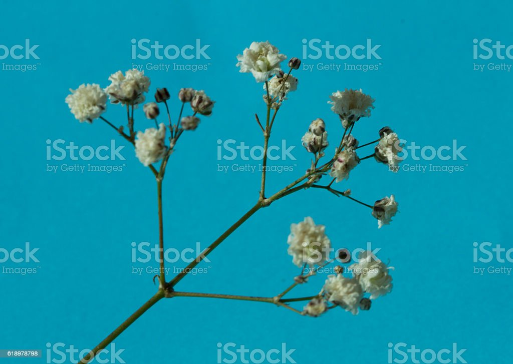 Gypsophila (Baby's-breath flowers), light, airy masses of small