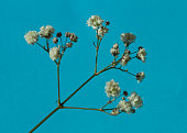 Gypsophila (Baby's-breath flowers), light, airy masses of small