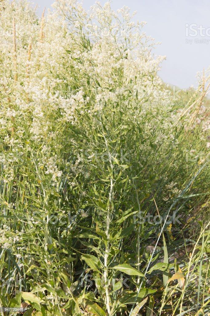 Gypsophila paniculata stock photo