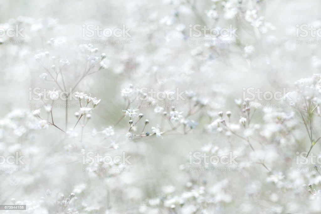 Gypsophila paniculata. Small white flowers. stock photo
