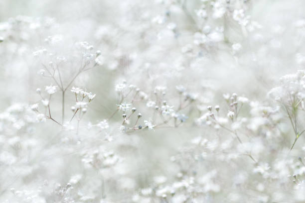 gypsophila paniculata. small white flowers. - communion stock photos and pictures