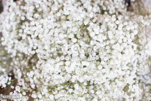 Gypsophila, white flowers, full frame.