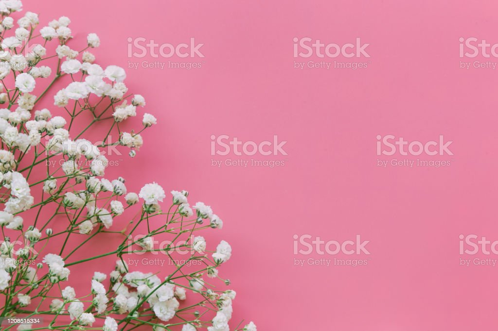 Gypsophila White Babys Breath Flower On Pastel Pink Background With Copy Space Sweet And Beautiful Wallpaper For Valentine Or Wedding Backdrop Design Gypsophila Flower Is Mean Forever Love Stock Photo Download