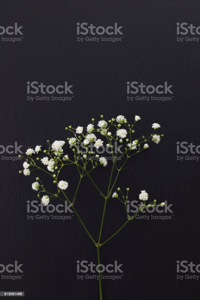 Gypsophila white small flowers on black stone background with copy space stock photo