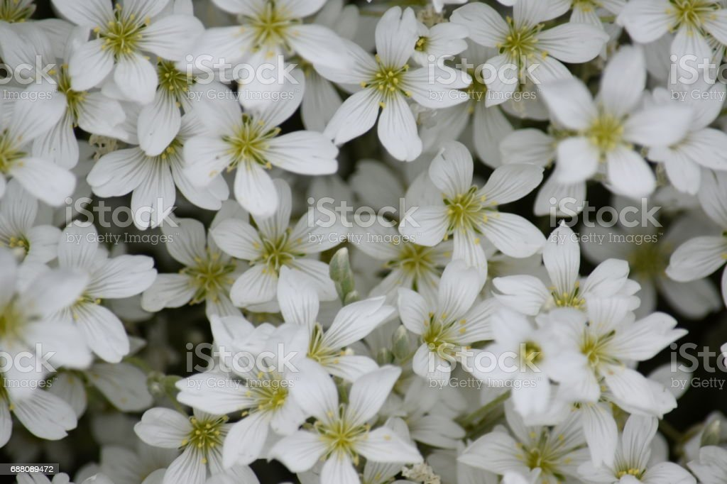 Gypsophillia flowers a natural background image stock photo