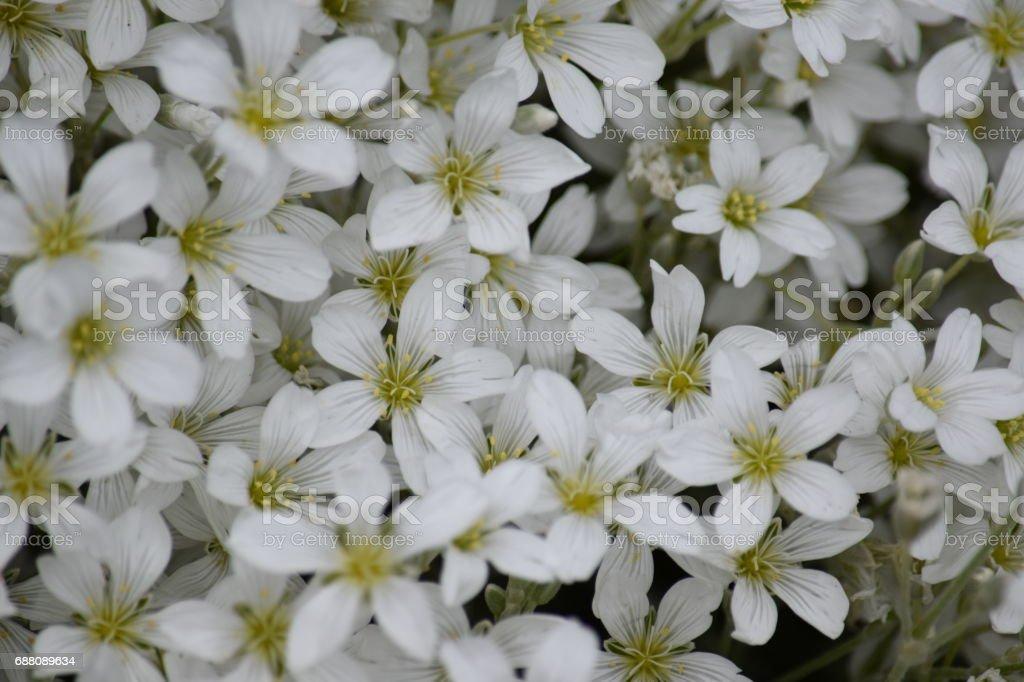 Gypsophillia flowers, natural background image stock photo