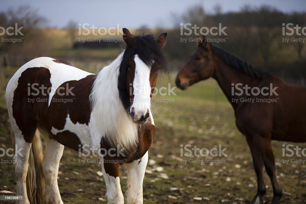 Gypsy Cob Horse stock photo