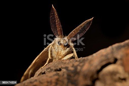 istock Gypsy Moth (Lymantria dispar) in the night 965474504