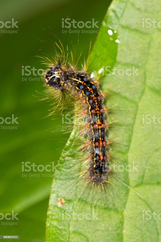Gypsy moth larva on a leaf, Valley Falls Park, Connecticut stock photo