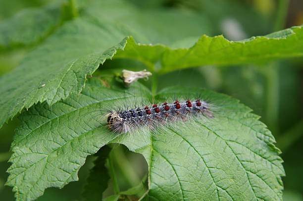 Gypsy moth (Lymantria dispar) on a raspberry leaf closeup Gypsy moth (Lymantria dispar) on a raspberry leaf closeup romani people stock pictures, royalty-free photos & images