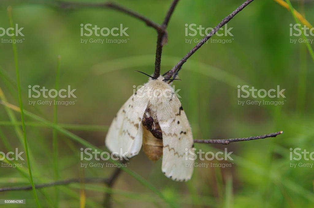 Gypsy moth (Lymantria dispar) on a twig in a forest stock photo