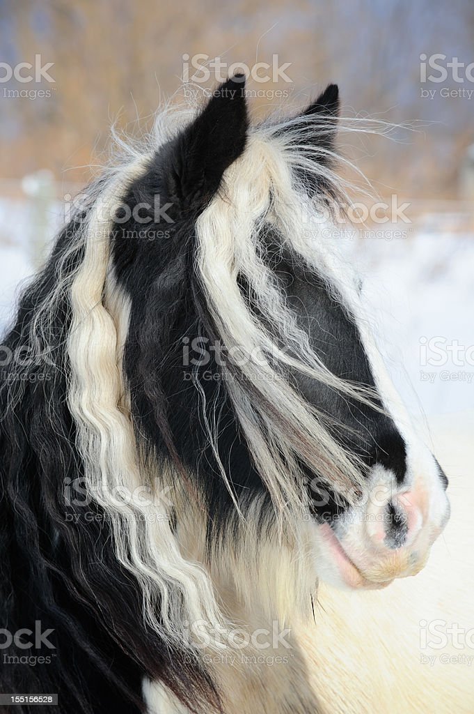 Gypsy Vanner Horse Head Shot, Long Mane and Forelock Hair stock photo