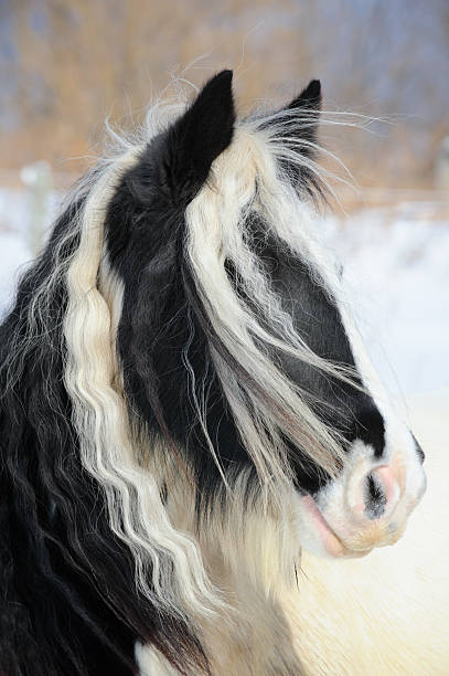 Gypsy Vanner Horse Head Shot, Long Mane and Forelock Hair Gypsy Vanner horse head shot with long flowing mane and forelock hair of her winter coat, a purebred black and white paint purebred animal, Pennsylvania, PA, USA. paint horse stock pictures, royalty-free photos & images