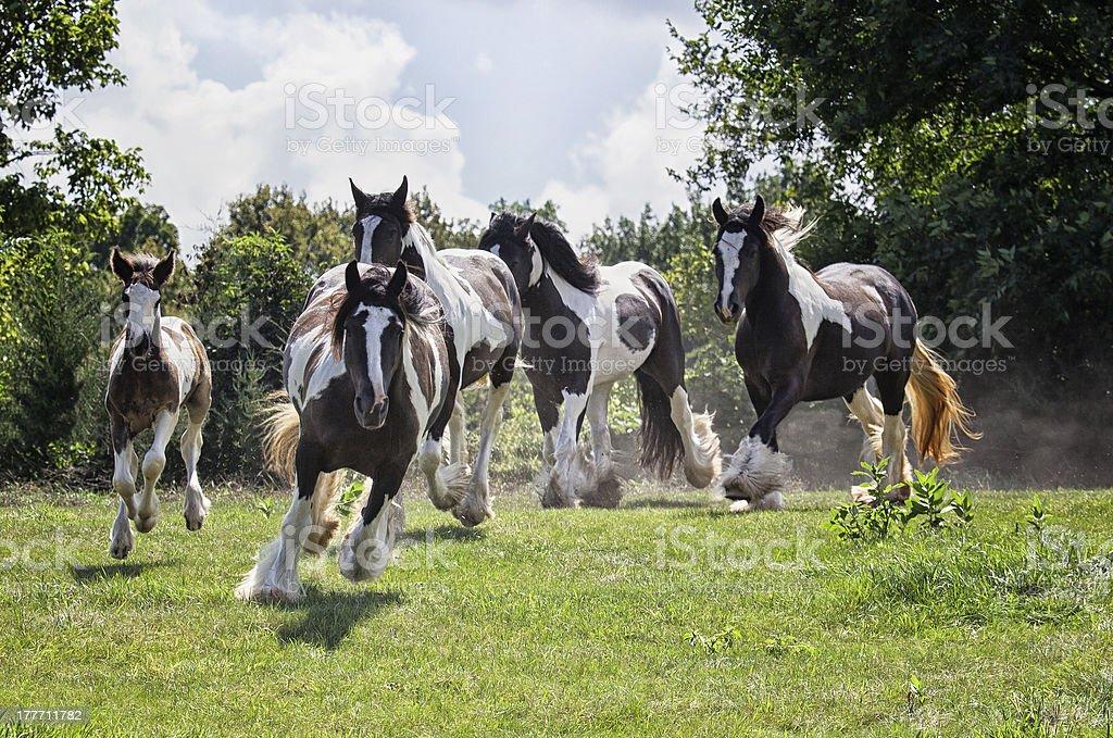 Gypsy Vanner Horse Herd stock photo