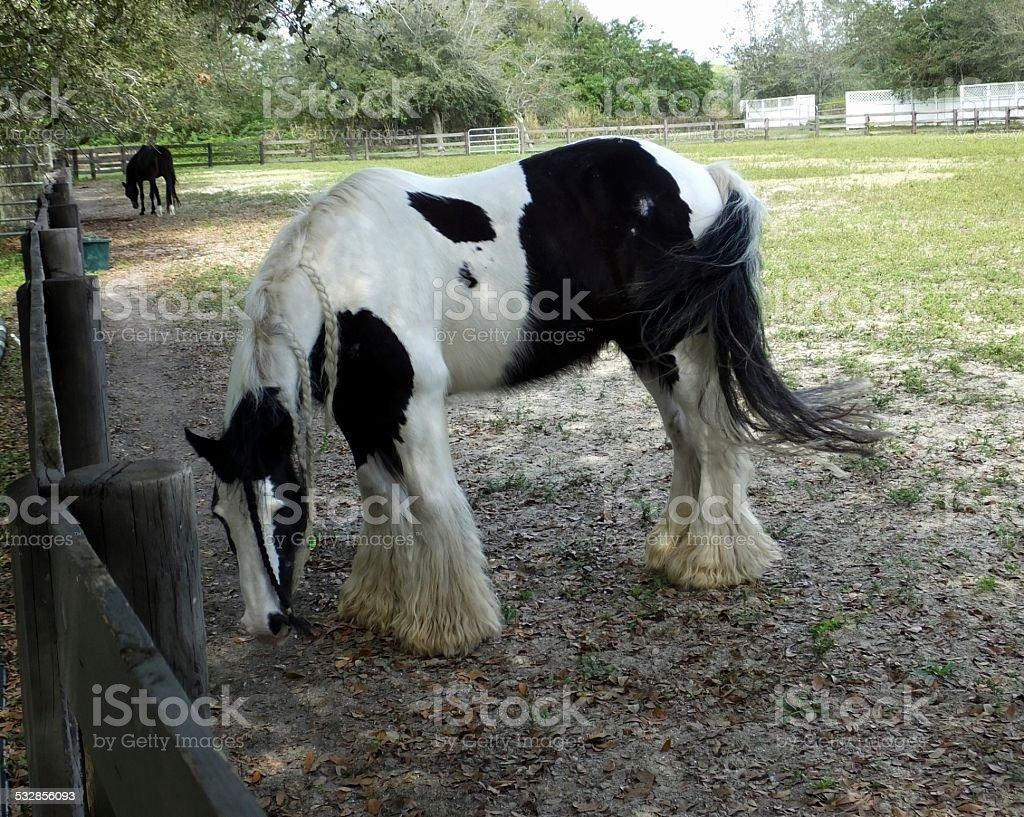 Gypsy Vanner Horse stock photo