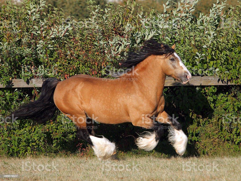 Gypsy Vanner Horse stallion stock photo