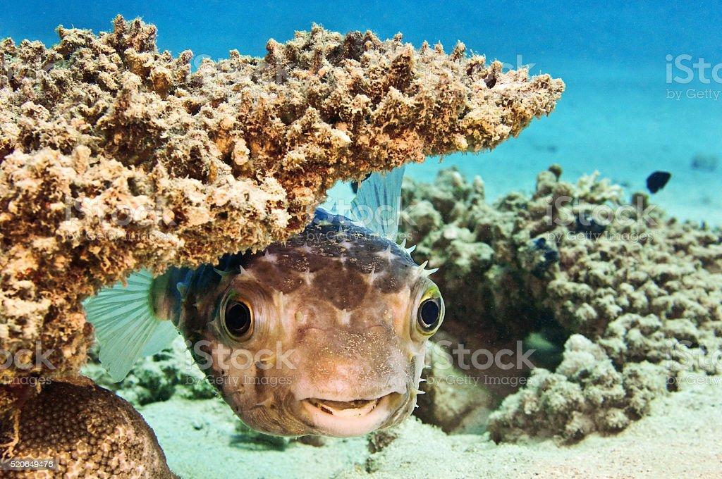 Ägypten Kugelfisch stock photo