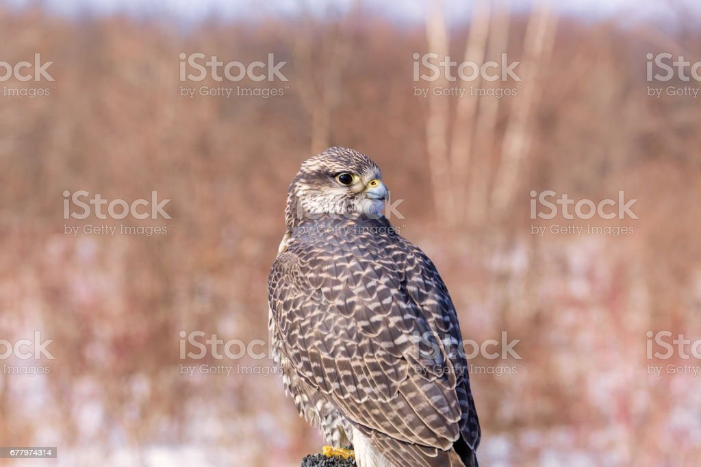 Gyrfalcon, rare falcon from northern Quebec. royalty-free stock photo