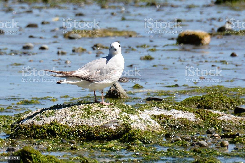 Gyro Gull royalty-free stock photo