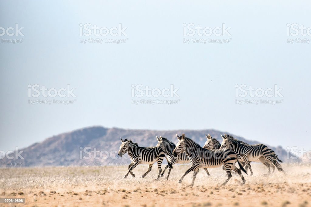 Haartmans Mountain Zebra stock photo