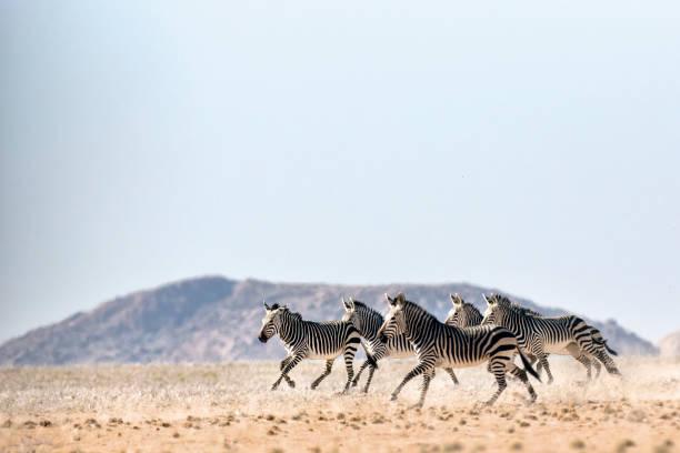 haartmans mountain zebra - zebra stock photos and pictures