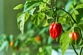 Habanero plant featuring fresh, ripe habanero peppers, ready for picking