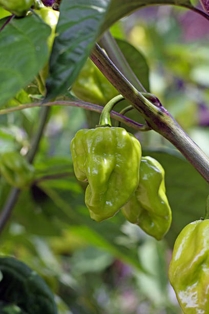 Habanero plant stock photo