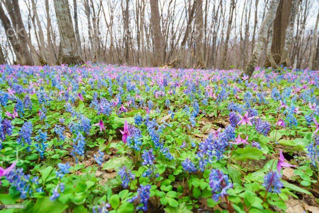"""habitat of Dogtooth violet ( japanese name """"Katakuri"""" ) and  blueCorydalis ( japanese name """"Ezoengosaku"""" ) stock photo"""