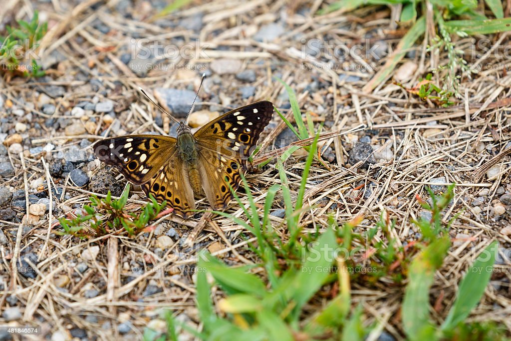 Hackberry Emperor Butterfly (Wings Open) stock photo