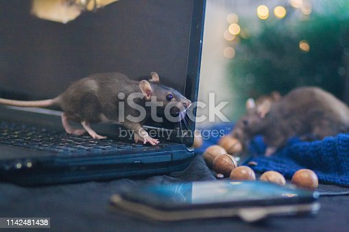 hacker attack. Mouse black. symbol of the new Chinese year 2020. home decorative rat. rat and computer monitor. smartphone touch