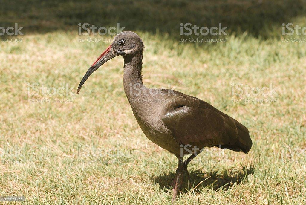 Hadada Ibis (Bostrychia Hagedash) stock photo