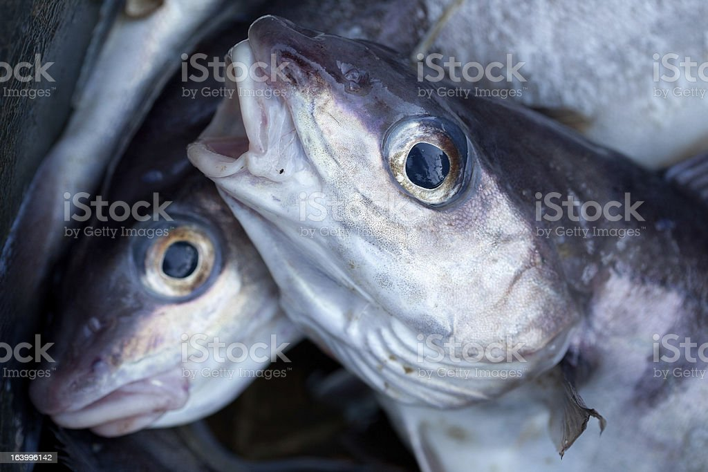 Haddock royalty-free stock photo