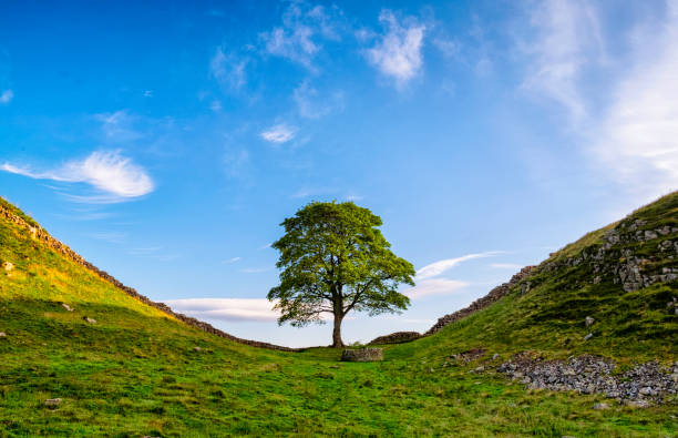 Hadrian's Wall And Sycamore Gap Hadrian's Wall And Sycamore Gap sycamore tree stock pictures, royalty-free photos & images