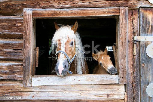 istock haflinger horse and foal look out of a wooden stable 1062847688