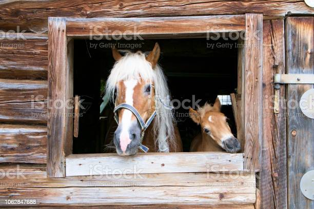Haflinger horse and foal look out of a wooden stable picture id1062847688?b=1&k=6&m=1062847688&s=612x612&h=x2repneqdp2pitcwponya7j2cbjilsmpfwhv6ry2xgc=