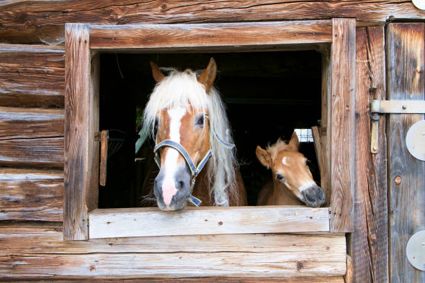 Haflinger horse and foal look out of a wooden stable picture id1062847688?b=1&k=6&m=1062847688&s=612x612&w=0&h=mr nffqv4ysgiktt2a1zmepw1oezj2zszqw nhjcymu=