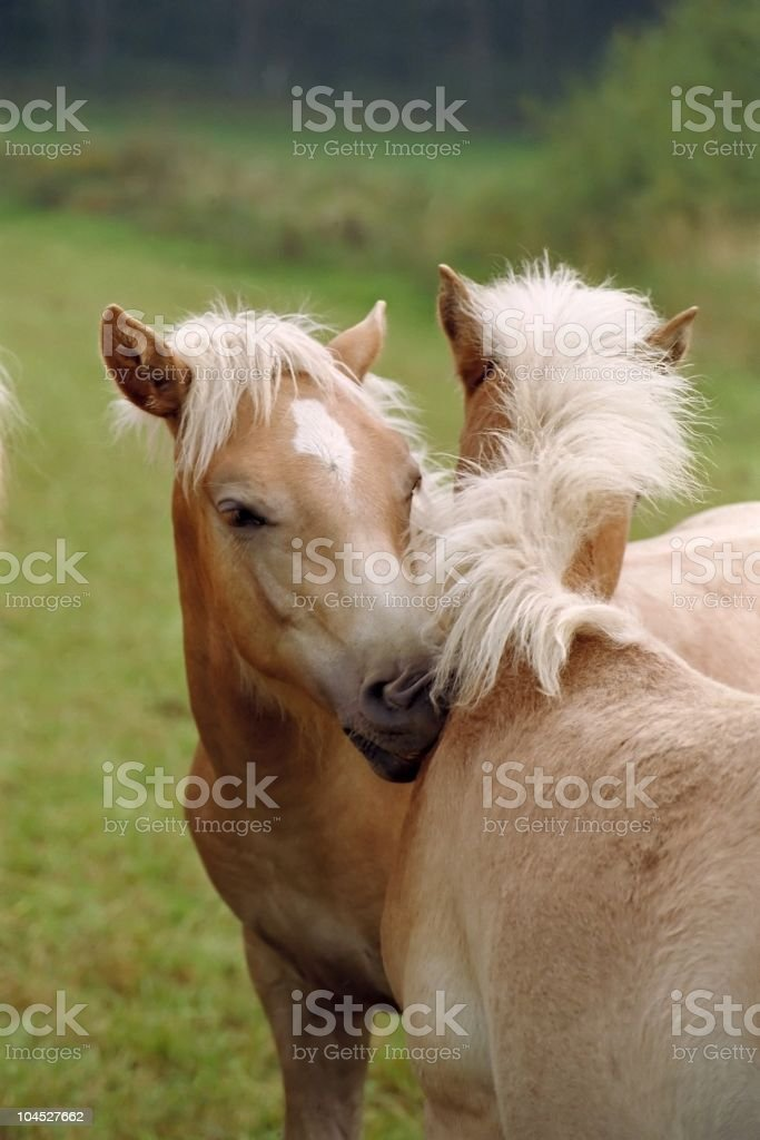 Haflinger horse foals - friendly turn royalty-free stock photo