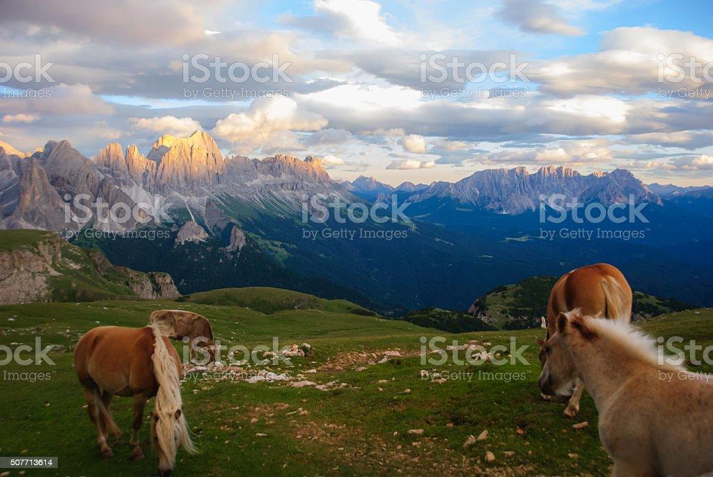 haflinger horse in dolomites stock photo