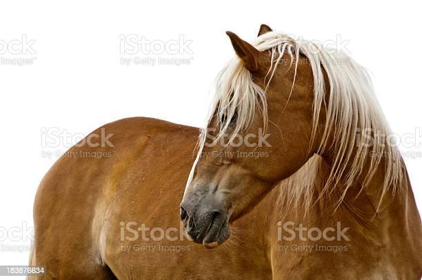 Haflinger horse isolated on white picture id183876634?b=1&k=6&m=183876634&s=612x612&h=tuf4kepxlva9r8ejqvufi4jfpr yn90ldcya f4fpvc=