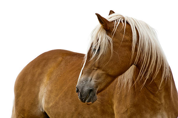 Haflinger horse isolated on white picture id183876634?b=1&k=6&m=183876634&s=612x612&w=0&h=fbmcphattc6llqr3dkxdfmg9  jzw goc5awcda94ra=