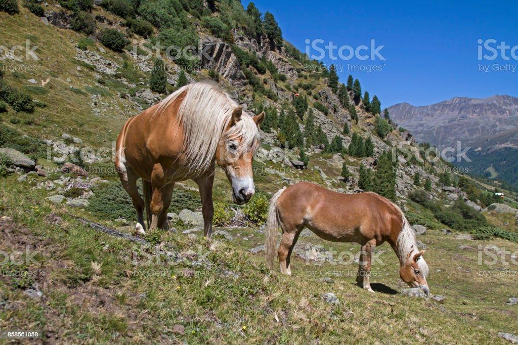 Haflinger horses on an alpine meadow stock photo