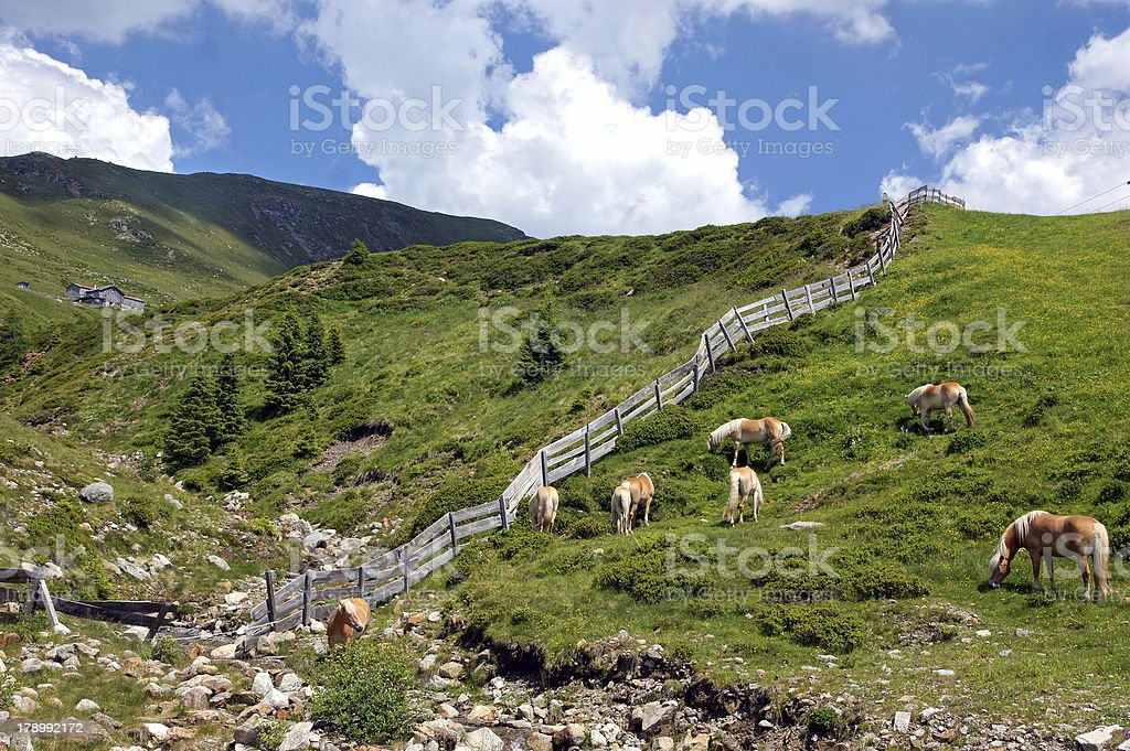 Haflinger in the mountains royalty-free stock photo