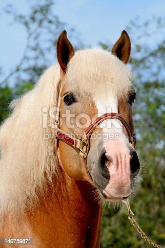 istock Haflinger Pony 146759871