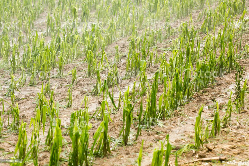 Hail damaged corn field - Storm disaster stock photo