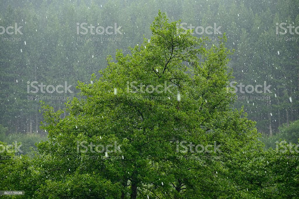 Hail storm flattens the forest with ice balls stock photo
