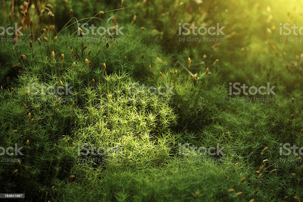 haircap moss stock photo